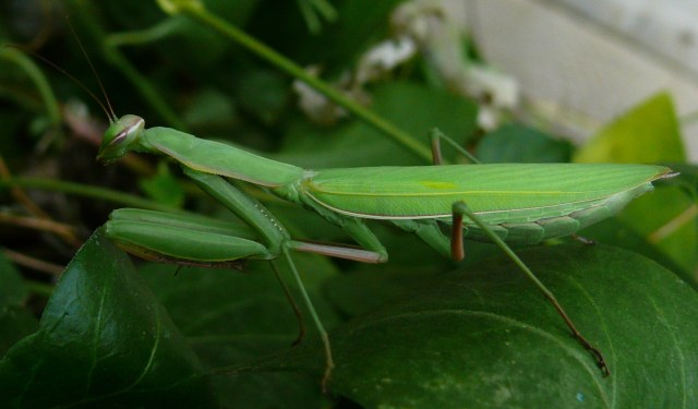 Photo by Smiles:  Preying Mantis in College Place, WA